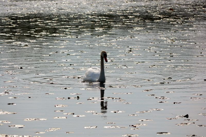 Swan Lake Alone Beak Beauty In Nature Big Bird Bird Crosswinds Marsh Day Feather  Feathers Float Lakeshore Leaves On Water Marsh Michigan Nature Outdoors Rippled Scenics Swan Swimming Tranquil Scene Tranquility Water White White Bird