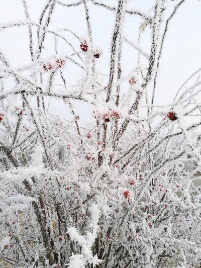 Backgrounds Full Frame No People Close-up Nature Day Winter Defocused Cold Temperature Sky Outdoors Beauty In Nature Fragility Winter Wintertime ⛄ Frosty Hagebutten Rosehips Under The Snow Rosehips Austria Cold Cold Days EyeEmNewHere