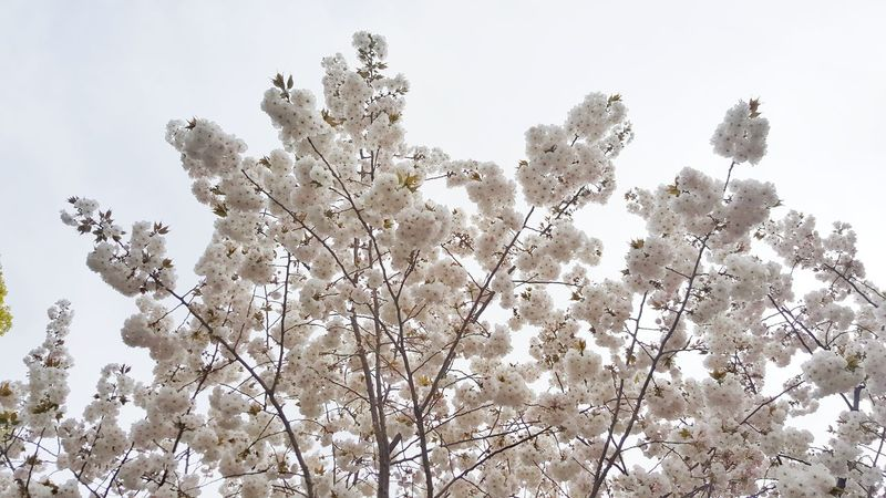 Nature Growth Low Angle View Branch Sky Outdoors No People Day Beauty In Nature Sakura Cherry Blossoms Shinobazu Pond Japan Tokyo Plum Blossom Close-up Cherry Blossom Fragility Cherry Tree Beauty In Nature Springtime Nature Blossom Low Angle View Growth