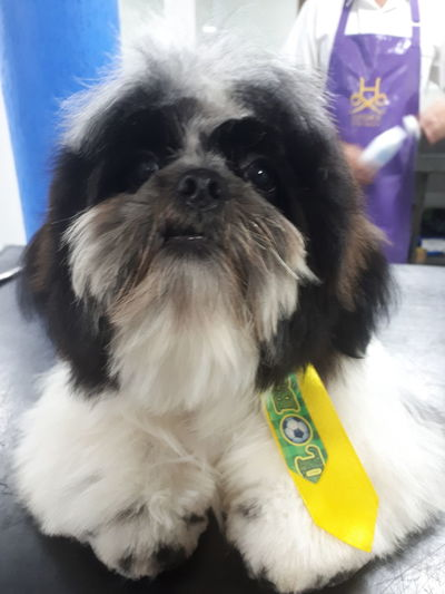 Cheering for good football World Cup 2018 Pets Dog Portrait Looking At Camera Pet Clothing Lap Dog Pampered Pets Animal Eye Animal Face Shih Tzu