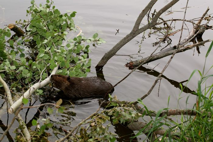 Beaver Beaver Dam Beauty In Nature Beaver Beaver Dam Beaver Work Beavers Canada Close-up Day Green Green Color Growth Leaf Nature No People Outdoors Plant Tranquil Scene Tranquility Twig Water Animal Themes Animal Non-urban Scene Animal Wildlife
