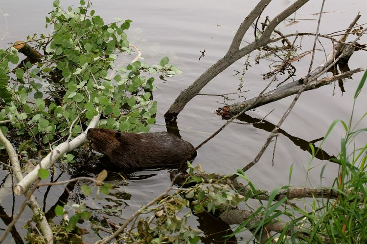 High Angle View Of Beaver In Lake