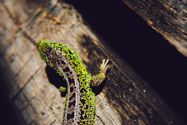 High Angle View Of Lizard On Wooden Surface