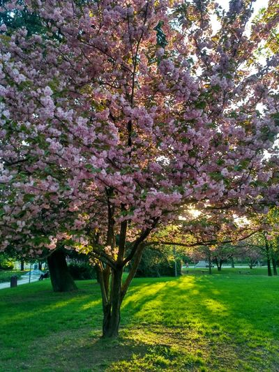 Spring Spring Nature Tree Flower No People Springtime Outdoors Sky Day Evening Beauty In Nature весна Весна💐🌷🌿 веснапришла деревья Природа Italia