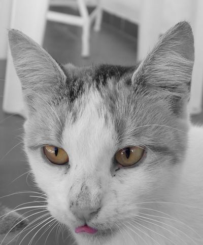 Domestic Cat Domestic Animals Feline Close-up Looking At Camera Focus On Foreground Animal Eye Blackandwhite Tounge Out  Bored Relaxing Sleepy Cat Kitty Animal Head  No People Calm Eye Animal Themes Front View