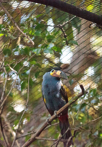 Plate-billed mountain toucan Andigena laminirostris behind the walls of a cage Andigena Laminirostris Plate-billed Mountain Toucan Toucan Animal Themes Animal Wildlife Animals In The Wild Bird Day Mountain Toucan Nature No People One Animal Outdoors Perching