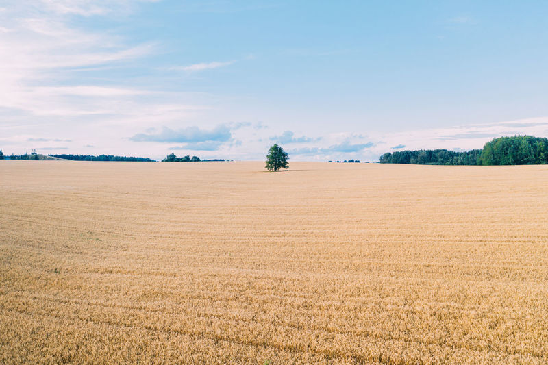 Gold wheat field panorama with tree , rural countryside