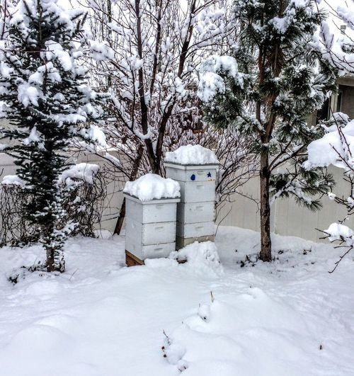Beehives in Winter Covered in Snow in Backyard with pine trees Architecture Beauty In Nature Behive Built Structure Cold Temperature Covering Day Field Land Nature No People Outdoors Plant Scenics - Nature Snow Snowing Tranquil Scene Tranquility Tree White Color Winter