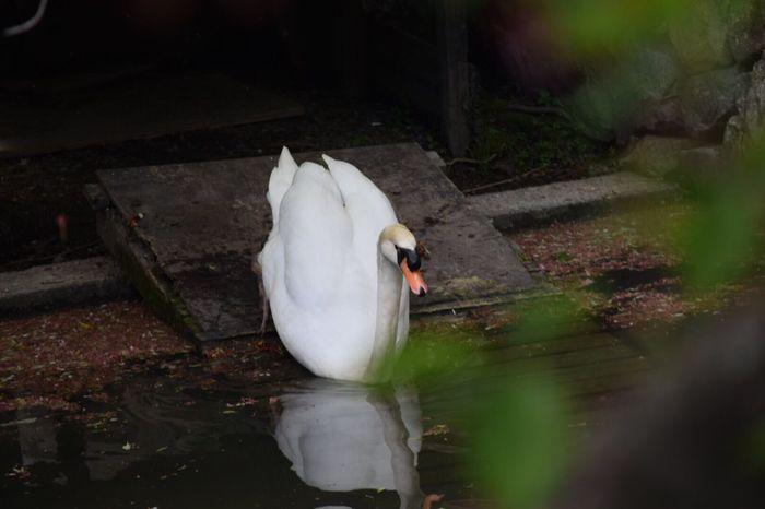 Swan Japan EyeEm Camera Hoto ☀ Okayama Kurashiki 😊✨✨💕