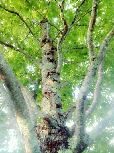 Beauty In Nature Green Green Color Low Angle View Nature Outdoors Tall Tree Trunk Woods