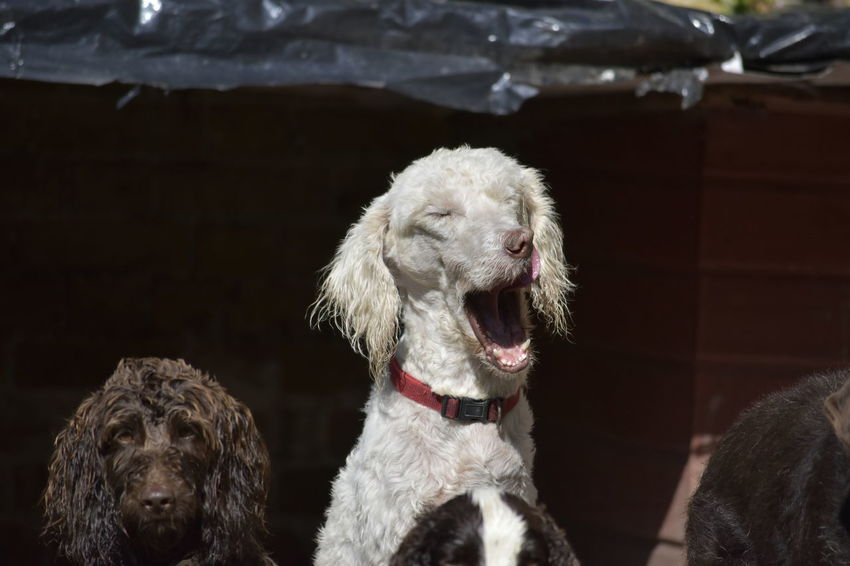 Doodle Food Time Hungry Poodle Waiting Bored Breakfast Time Dog Domestic Animals Licking Lips Open Mouth Open Mouthed Yawn