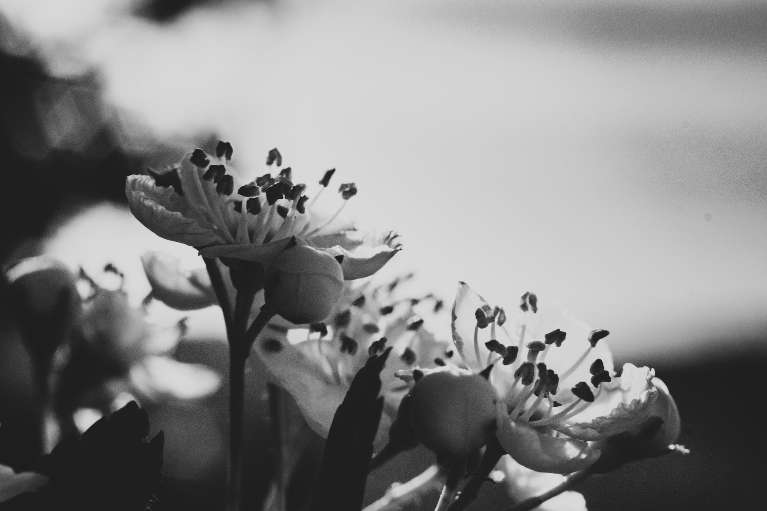 black and white, flower, black, flowering plant, plant, white, monochrome photography, beauty in nature, monochrome, freshness, nature, close-up, macro photography, fragility, petal, growth, flower head, inflorescence, spring, darkness, no people, leaf, outdoors, still life photography, focus on foreground, selective focus, blossom