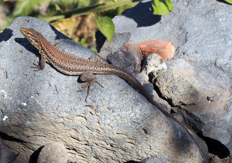 a tenerife lizard basking on a rock Tenerife Lizard Animal Themes Animal Wildlife Animals In The Wild Close-up Day Lizard Nature No People One Animal Outdoors Reptile Rock - Object Tenerife