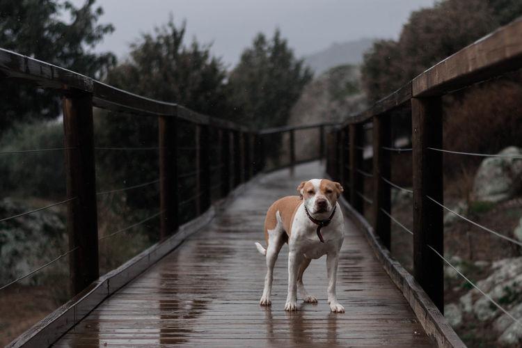 Dog on footbridge over river