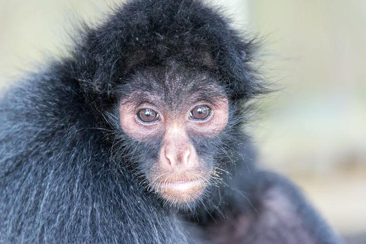 Close-Up Portrait Of Spider Monkey