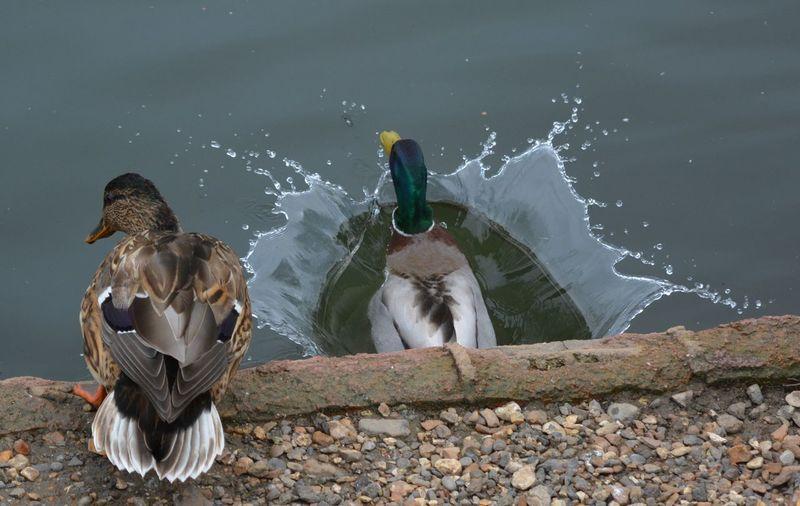duck splash Animal Themes Animals In The Wild Bird Day No People Outdoors Water First Eyeem Photo
