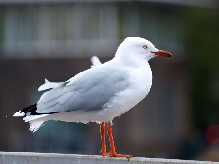 Animal Animal Themes Animal Wildlife Animals In The Wild Bird Close-up Day Focus On Foreground Full Length Nature No People One Animal Outdoors Perching Railing Seagull Side View Vertebrate White Color Wood - Material Capture Tomorrow