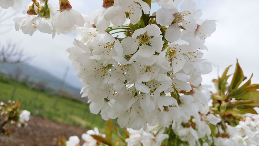 Cherry blossoms🌹 EyeEm Selects Flower Head Flower Tree Springtime Branch Blossom Backgrounds Rural Scene Petal Close-up