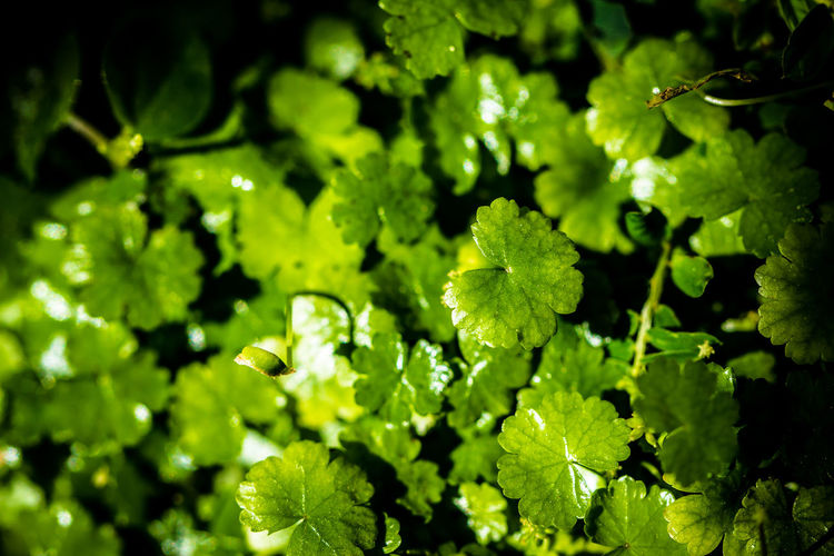 On the jungle floor Backgrounds Beauty In Nature Botany Close-up Day Focus On Foreground Fragility Freshness Full Frame Green Green Color Growing Growth Leaf Leaves Lush Foliage Natural Pattern Nature No People Outdoors Plant Selective Focus Tranquility Colour Of Life