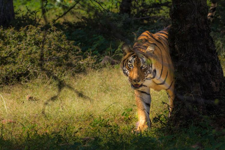 Tree Tiger Grass