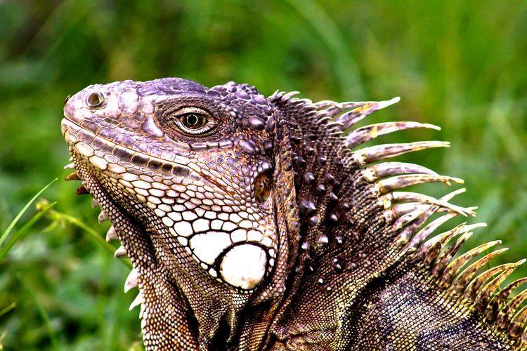 Iguana 3 Iguana