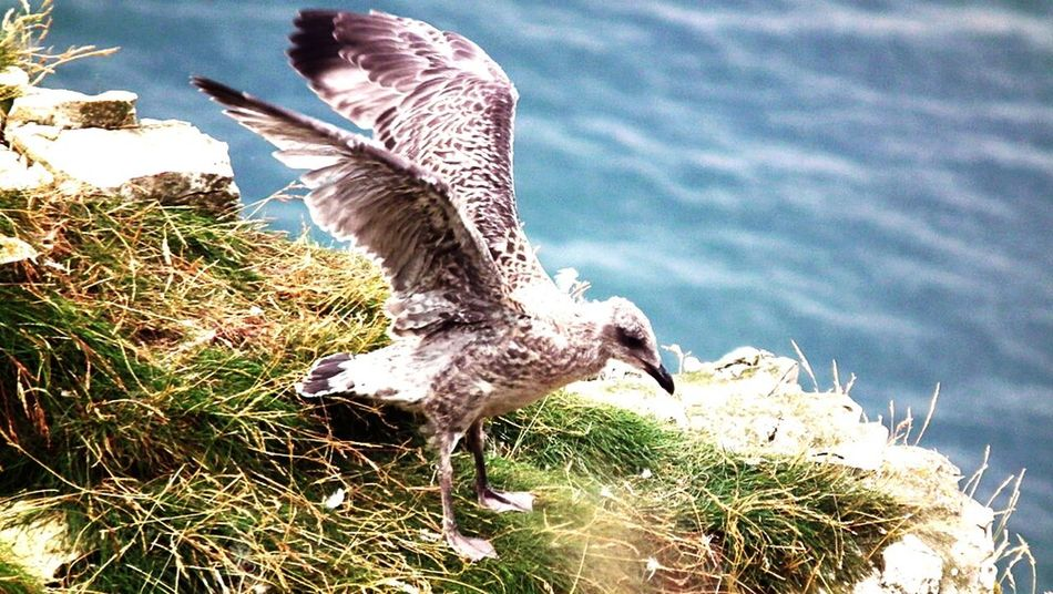 Baby herring gull Herring Gull Young Bempton Cliffs Bird Photography Nature Spread Wings