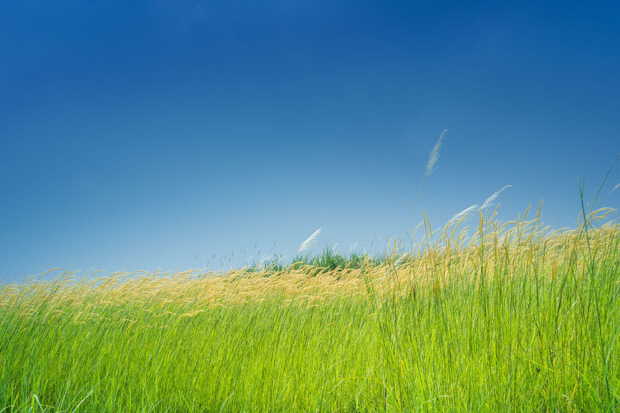 First Eyeem Photo ASIA Clear Sky Field Freshness Grass Green Color Growing Growth Nature Plant Plants Tranquility Beauty In Nature Blue Sky Day Grass Field Grassy Landscape Landscapes Outdoors Rural Scene Scenics Sky Still Life Tranquil Scene