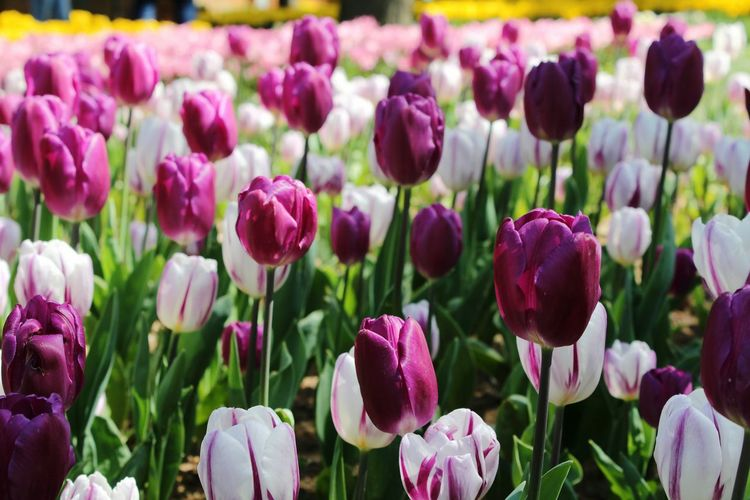 Close-up of purple tulips in field