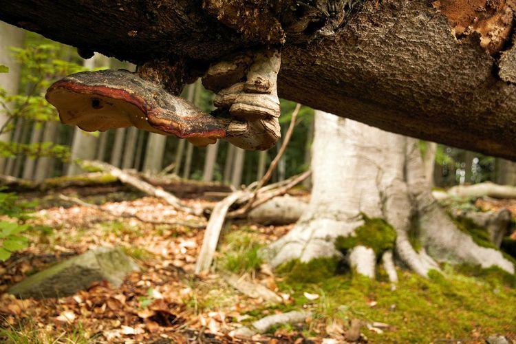 La tête en bas Foret Wald Forest Champignon Renverse Pilz Mushrooms