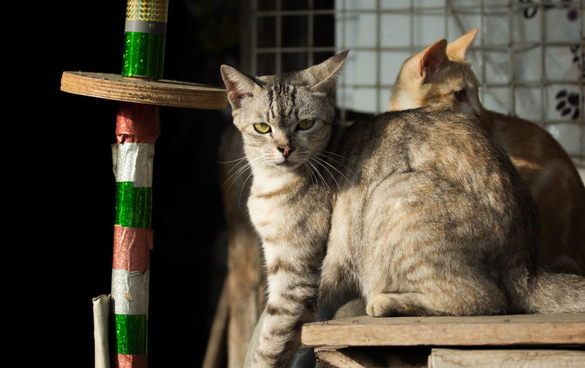 Animal Themes Cat Close-up Domestic Cat Feline Friend Gray Gray Cat Looking At Camera Mammal No People Outdoor Pets Sitting Stare Sunlight Sunny Sunny Day Sunnyday☀️ Tabby Cat Tow Cats Two Wood - Material Yellow Yellow Cat