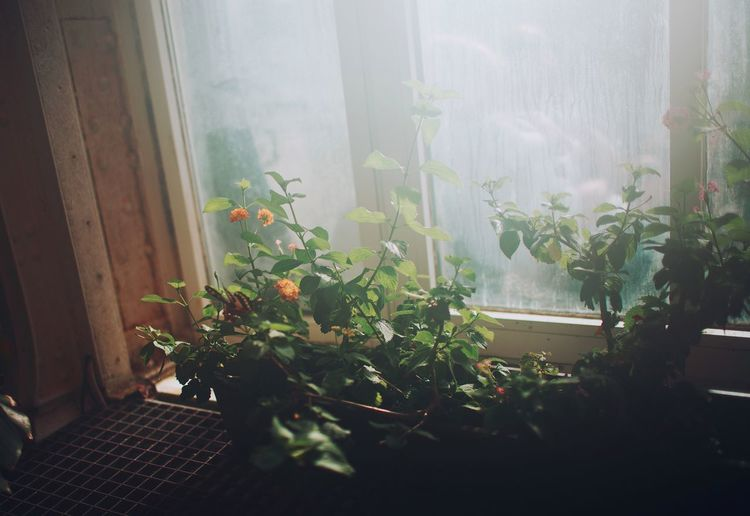 Plant Window Curtain Growth Indoors  Day Potted Plant Leaf No People Nature Drapes  Home Interior Greenhouse Close-up