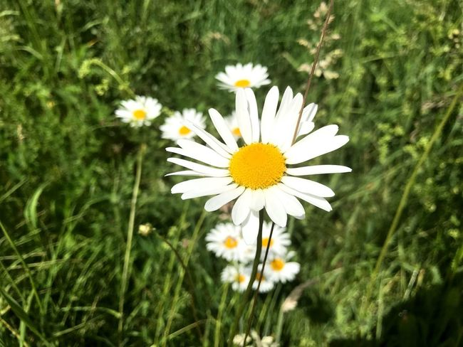 Flower Flowering Plant Plant Freshness Fragility Vulnerability  Growth Close-up Nature Inflorescence White Color Petal Day Beauty In Nature Green Color Flower Head Daisy Pollen Yellow Field