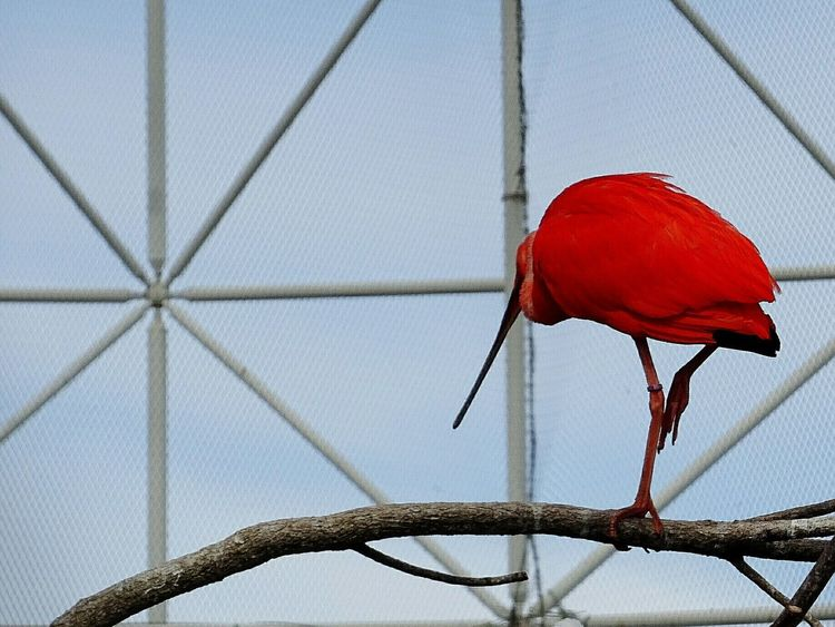 Low Angle View Close-up Red Plant Day Focus On Foreground Nature Zoology No People Beauty In Nature Tranquility TakeoverContrast Red Bird Ibis Branch One Leg Caged Bird Cage Colors And Patterns