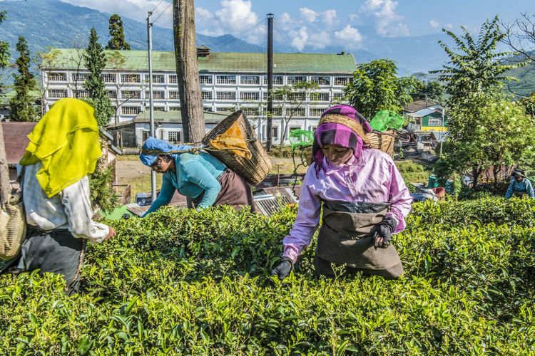 Women plucking tea in front of a tea factory in Darjeeling, India Architecture Working Tea People Nature Women Day Colorful Beverage India Plant Clothing Agriculture Plantation Darjeeling Adult Occupation Green Color Tea Factory Group Of People Tea Pluckers Building Exterior Tea Plucking Tea Bushes Editorial Use Only