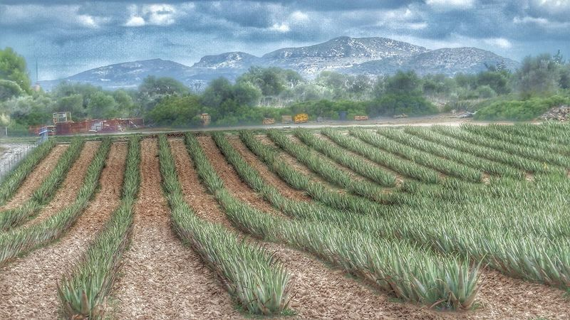Aloe vera farm, Mallorca, Spain EyeEm Best Edits Landscape_photography Landscape_Collection Landscape EyeEm Best Shots - Landscape Enjoying The View Summer Views EyeEm Best Shots Aloe Vera Plantage