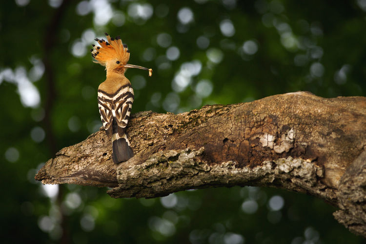 Wildlife photography of a hoopoe from a forest near Bistrita, Romania. Green Tree Animal Animal Themes Animal Wildlife Animals In The Wild Background Beauty Bird Branch Close-up Forest Hoopoe Nature One One Animal Outdoors Single Summer Wild Wildlife Woods
