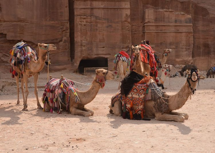 View of camels sitting on desert