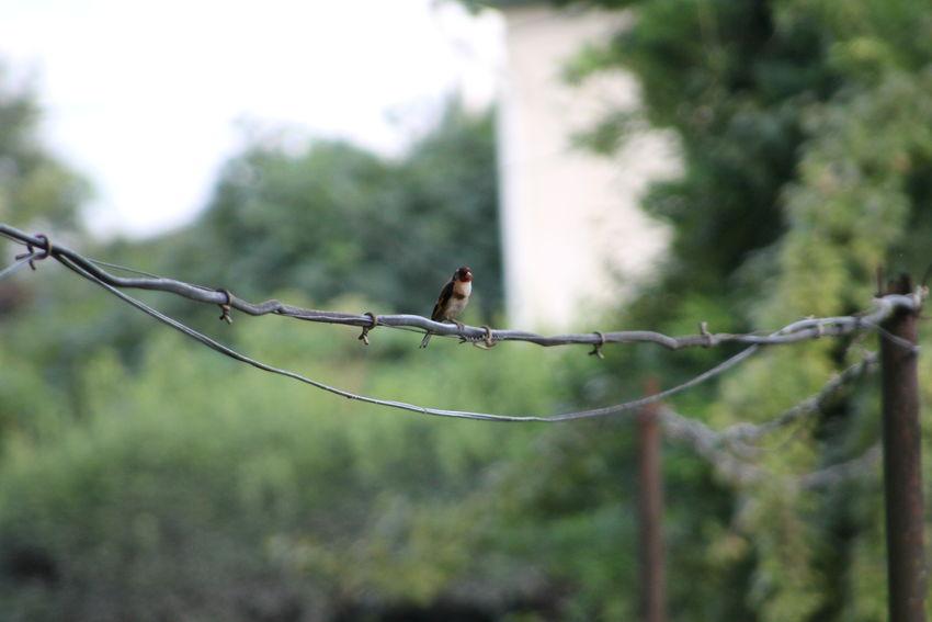 ჩიტბატონა The European goldfinch or goldfinch (Carduelis carduelis) Barbed Wire Beauty In Nature Close-up Day European Goldfinch Fence Focus On Foreground Green Color Nature No People Outdoors Perching Protection Safety Selective Focus Tranquility Twig Wildlife ჩიტბატონა