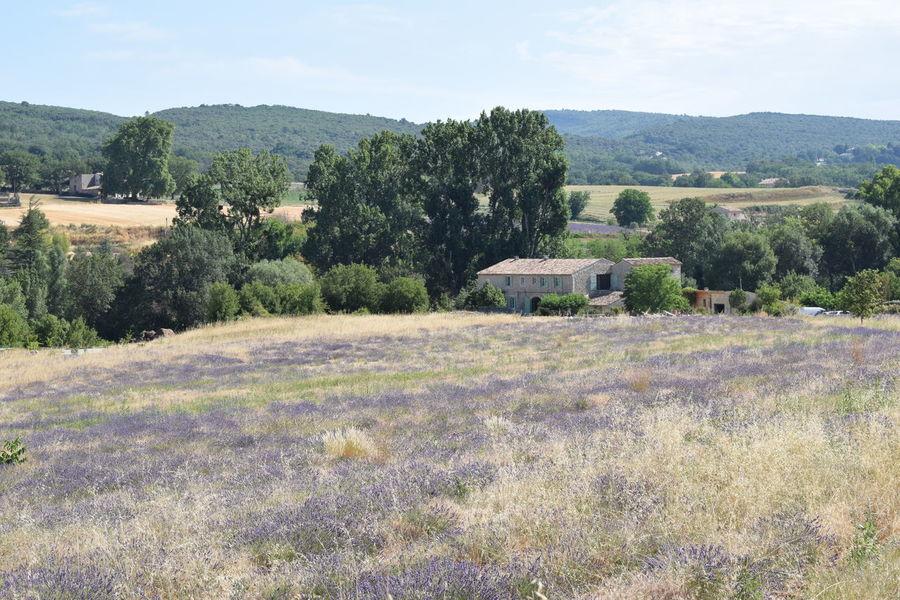 Lavenderfield Country France Lavender Farm Lavender Field Provance Provence Countryside Lavendel Lavender Lavender Colored Lavender Flowers Lavenderflower