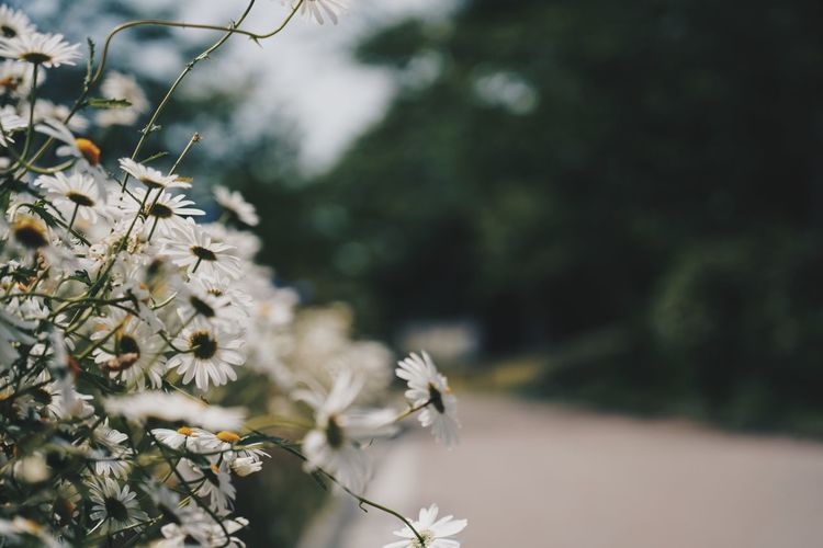 Plant Growth Flower Flowering Plant Beauty In Nature Close-up Fragility Selective Focus Freshness Nature Tree Day Vulnerability  Focus On Foreground No People Outdoors Tranquility White Color Petal Sunlight Flower Head