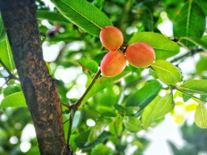 Growth Tree Low