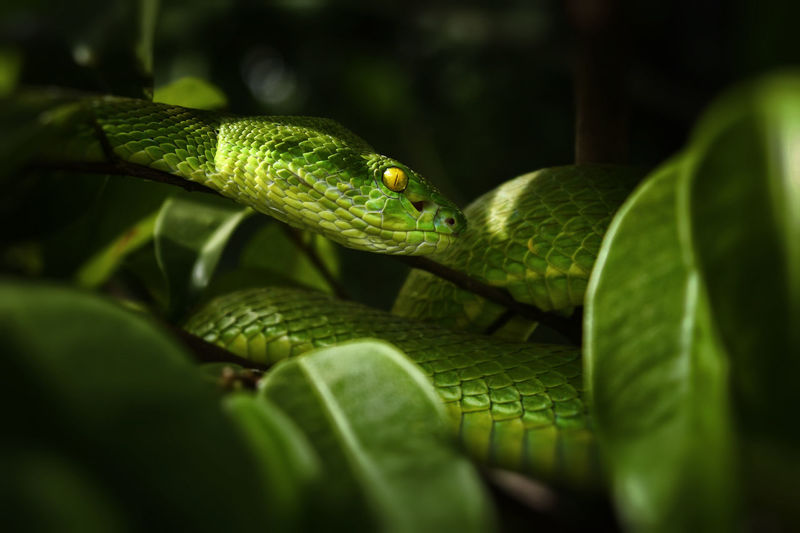 Close-up of green viper snake