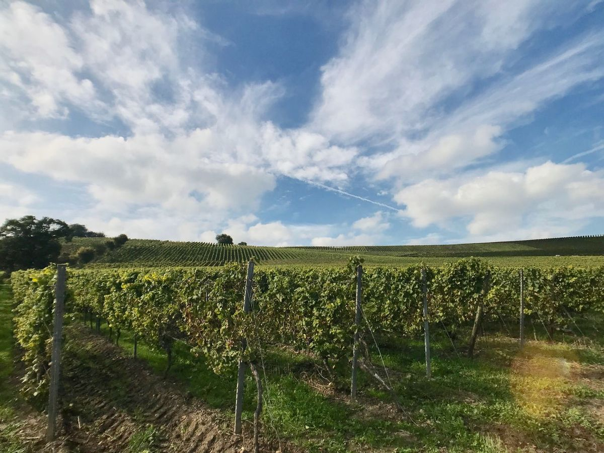 Oppenheim Weinberg Vineyard Agriculture Field Landscape Nature Tranquility Farm Sky Rural Scene Tranquil Scene Scenics No People Beauty In Nature Growth Cloud - Sky Day Outdoors Grass