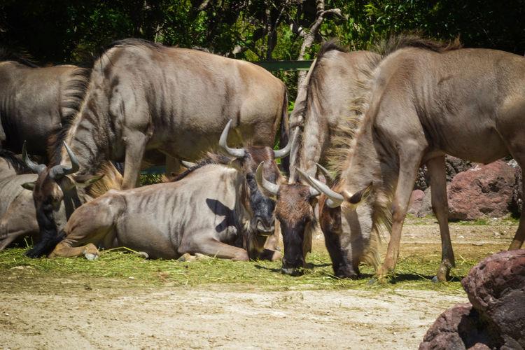 Africam Safari Animal Themes Animals In The Wild Nature Outdoors Wildebeest Wildebeests