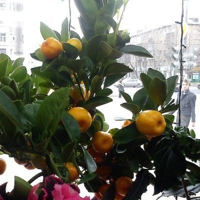 #calamondin in our local flowershop, today, 30/03/2014 :) Calamondin