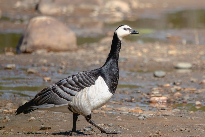 Branta Leucopsis Animal Animal Themes Animal Wildlife Animals In The Wild Barnacle Goose Bird Close-up Day Focus On Foreground Full Length Land Nature No People One Animal Outdoors Perching Rock Side View Solid Vertebrate