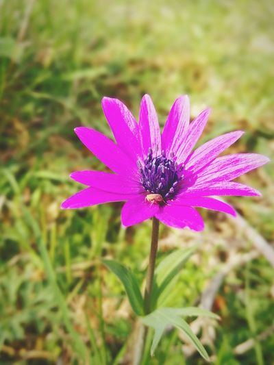 Flower Fragility Growth Nature Beauty In Nature Freshness Flower Head Blooming No People Field Outdoors Day Insect Purple Petal Plant Focus On Foreground Osteospermum