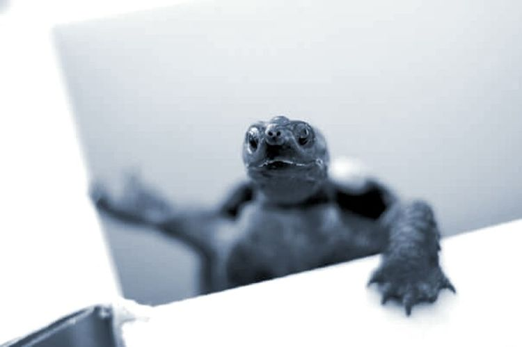 Animal Themes One Animal Turtle Tortoise Monochrome Photography Black And White Climbing Reptile Close-up