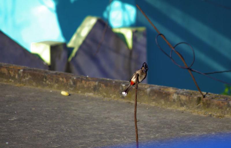 Art of Balance - Red-Vented Bulbul Aaj Kuchh Tufani Karte Hain Animal Themes Animal Wildlife Animals In The Wild Balancing Act Balancing Art Balancing Bird Bulbul Bird Making Balan Nature Naughty Bird One Animal Outdoors Perching Red-vented Bulbul Sparrow Vented Bulbul