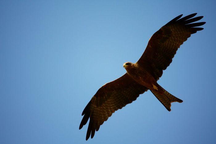 Birds Of Prey Birds Of EyeEm  Birds In Flight Wildlife Black Kite Milvus Migrans